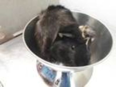 Adopt April a Black Guinea Pig / Mixed small animal in Washington, DC (25351470)