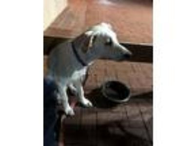 Adopt Stanley a Retriever, Mixed Breed