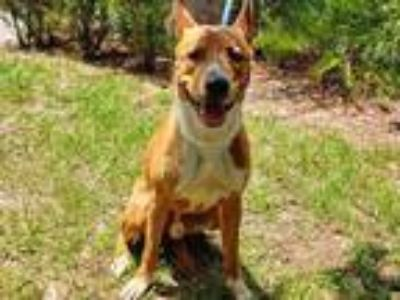 Adopt TODD a Tan/Yellow/Fawn - with White Basenji / Mixed dog in Tavares