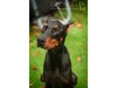 Adopt Cyrus a Black - with Tan, Yellow or Fawn Doberman Pinscher / Mixed dog in