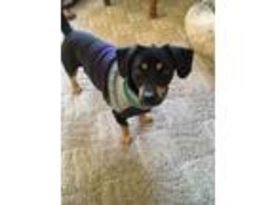 Adopt Tremonton-Foster Home Needed a Dachshund