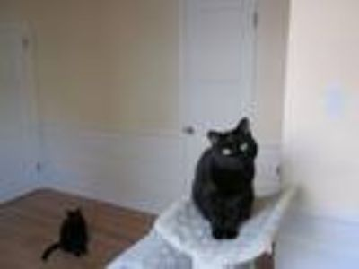 Adopt Inky a Black (Mostly) American Shorthair / Mixed cat in Los Angeles