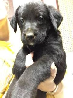 Labrador Retriever PUPPY FOR SALE ADN-70392 - Black Female sweetie