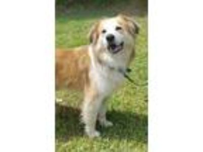 Adopt Sal a Tan/Yellow/Fawn - with White Collie / Mixed dog in Walton County