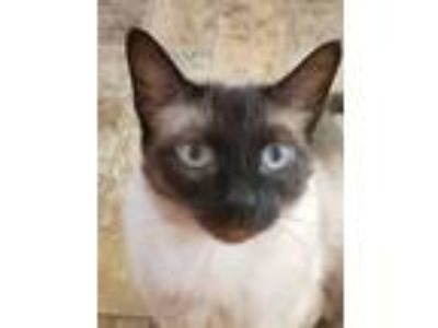 Adopt JEWEL! Sweet Siamese / Single Princess Home! a Siamese