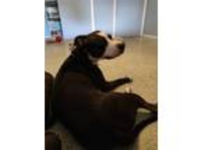 Adopt Bella a Black - with White American Pit Bull Terrier / Mixed dog in