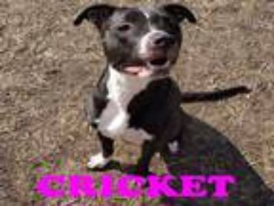 Adopt CRICKET a Pit Bull Terrier, Mixed Breed
