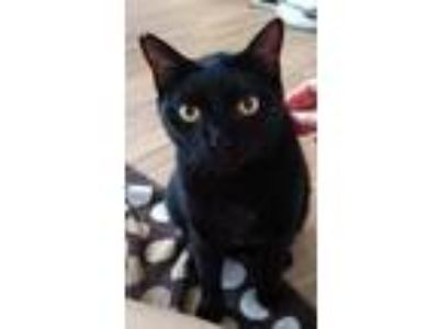 Adopt Midnight a All Black Bombay (short coat) cat in Palm Beach Gardens