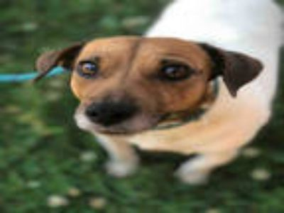 Adopt OLIVE a White - with Tan, Yellow or Fawn Jack Russell Terrier / Mixed dog