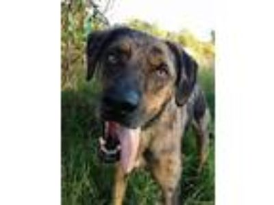 Adopt Arlow a Catahoula Leopard Dog