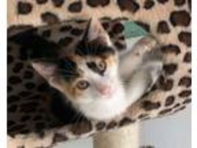 Adopt KITTEN KABOODLES a Domestic Short Hair, Domestic Medium Hair