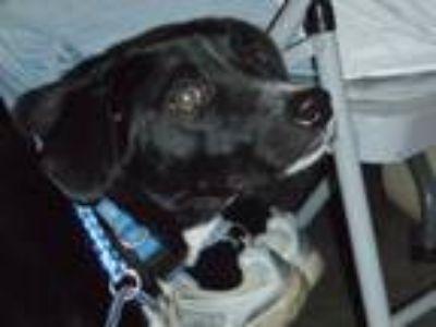 Adopt Huey a Terrier, Catahoula Leopard Dog