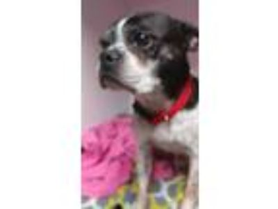 Adopt Ozzy a Black - with White Boston Terrier / Mixed dog in Weatherford