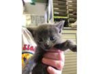 Adopt Monopoly a Gray or Blue Domestic Mediumhair / Domestic Shorthair / Mixed