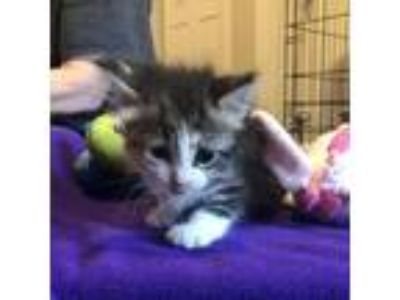 Adopt Sabrina a Calico or Dilute Calico Domestic Shorthair cat in League City