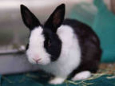Adopt OREO a Black Other/Unknown / Mixed rabbit in Pasadena, CA (24817751)