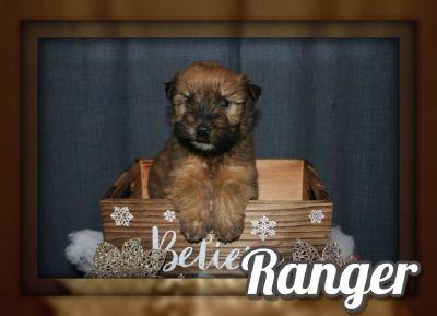 Ranger Male AKC Soft Coated Wheaten Terrier