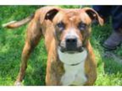 Adopt Kane*FOSTER NEEDED!* a Boxer, Pit Bull Terrier