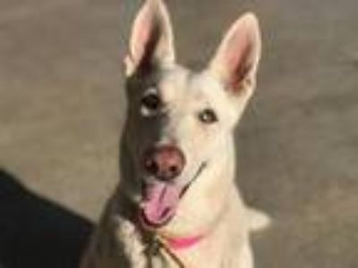 Adopt CHAR a German Shepherd Dog, Husky