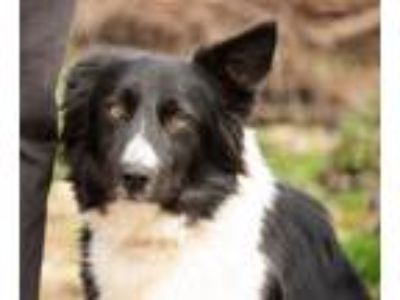 Adopt RUBY - very sweet a Border Collie
