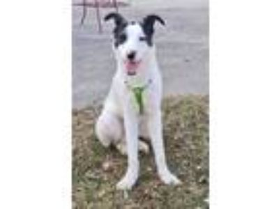 Adopt Herschel a Whippet, Border Collie
