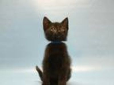 Adopt Pineapple a Domestic Short Hair