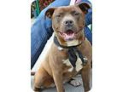 Adopt Seal a Pit Bull Terrier