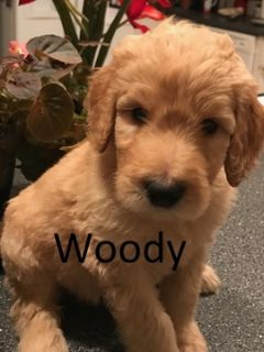 Goldendoodle PUPPY FOR SALE ADN-59565 - Beautiful F1b Goldendoodle Puppies