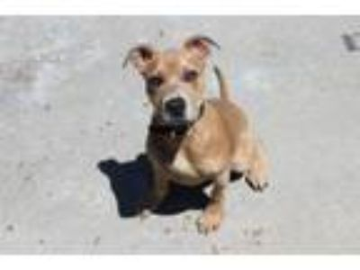 Adopt A158672 a Pit Bull Terrier