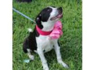 Adopt Maggie a Labrador Retriever, Border Collie
