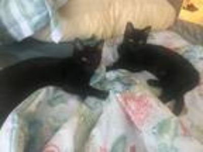 Kittens For Sale Classifieds In Maple Valley Washington