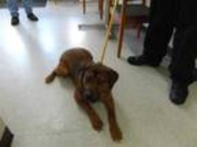 Adopt Odie a Brown/Chocolate Labrador Retriever / Mixed dog in Cleveland