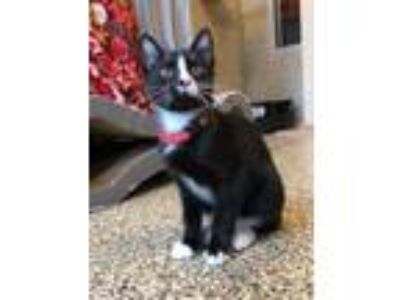 Adopt Sammie a All Black Domestic Shorthair / Mixed cat in Merriam