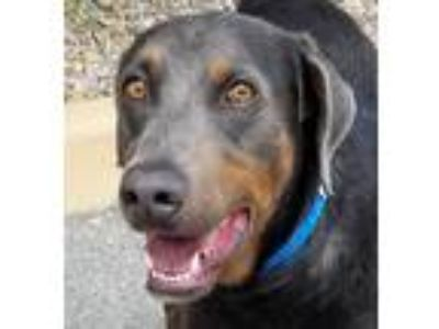 Adopt Harold a Gray/Blue/Silver/Salt & Pepper Doberman Pinscher / Mixed dog in