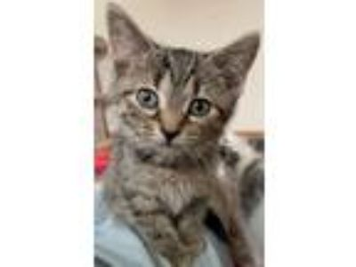 Adopt Gemma a Brown Tabby Domestic Shorthair / Mixed (short coat) cat in