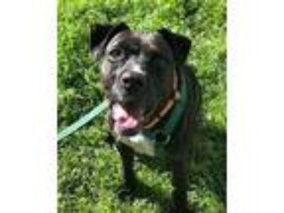 Adopt Olive a Black Boxer / Labrador Retriever / Mixed dog in San Antonio