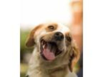 Adopt Kelsie a Brown/Chocolate - with White Beagle / Mixed dog in East Hartford