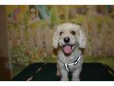Adopt a White Poodle (Miniature) / Mixed dog in Modesto, CA (25870257)