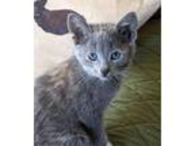 Adopt LILY a Russian Blue, Calico