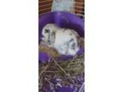 Adopt Moucie a White Lop-Eared / Mixed rabbit in Uwchlan, PA (25302246)