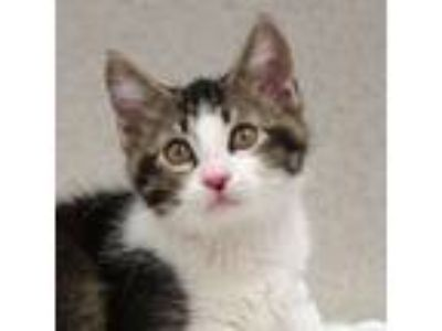 Adopt Bryce a Domestic Short Hair
