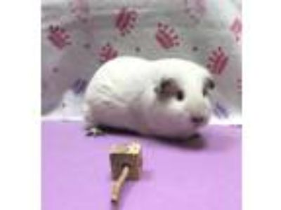 Adopt Cinderella a White Guinea Pig (medium coat) small animal in Aurora