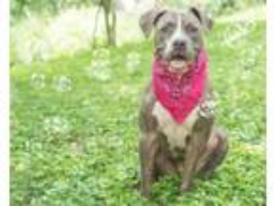 Adopt Seattle a American Staffordshire Terrier / Mixed dog in St.