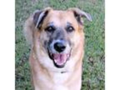 Adopt Cowboy a Mastiff, Mixed Breed