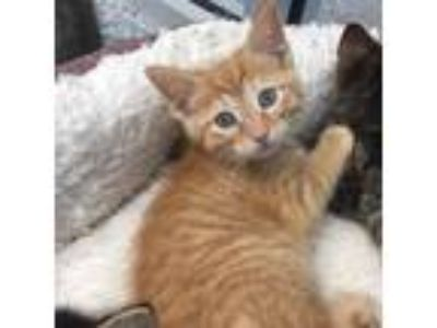 Adopt Goldie a Domestic Shorthair / Mixed (short coat) cat in Angola