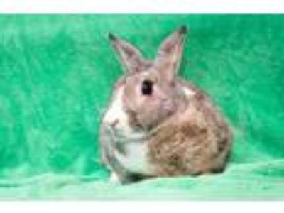 Adopt Hoptimus Prime a Dwarf / Mixed (short coat) rabbit in Baton Rouge