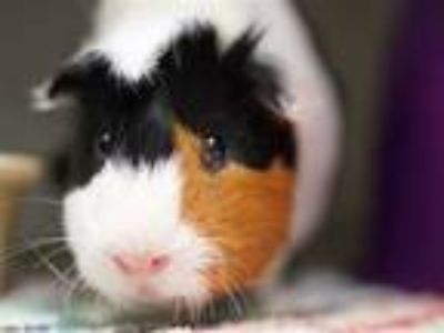 Adopt Jack a Guinea Pig (short coat) small animal in Brooklyn, NY (25352151)