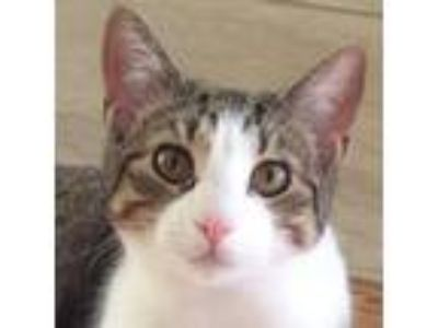 Adopt Abbie a Gray, Blue or Silver Tabby Domestic Shorthair (short coat) cat in