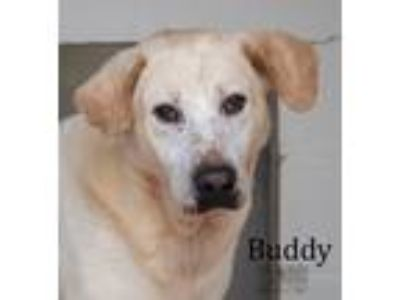 Adopt Buddy a White - with Tan, Yellow or Fawn Labrador Retriever / Mixed dog in