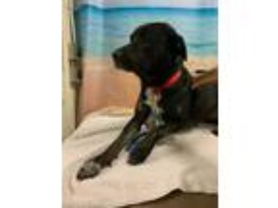 Adopt THOR a Black Rottweiler / Labrador Retriever / Mixed dog in Tangent